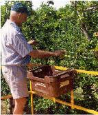 Worker using the crate holder on a Trel-Pick