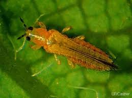 Thrips are minute, slender insects with fringed wings. Other common names for thrips include thunderflies, thunderbugs, storm flies, thunderblights, storm bugs, corn flies and corn lice.