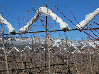 Smart Net Systems netting providing hail protection for apples in Colorado