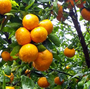 A crop of high quality seedless mandarins after being cultivated under netting