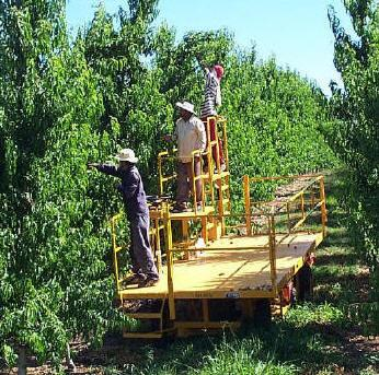 Workers doing orchard harvesting on a Trel-Pick